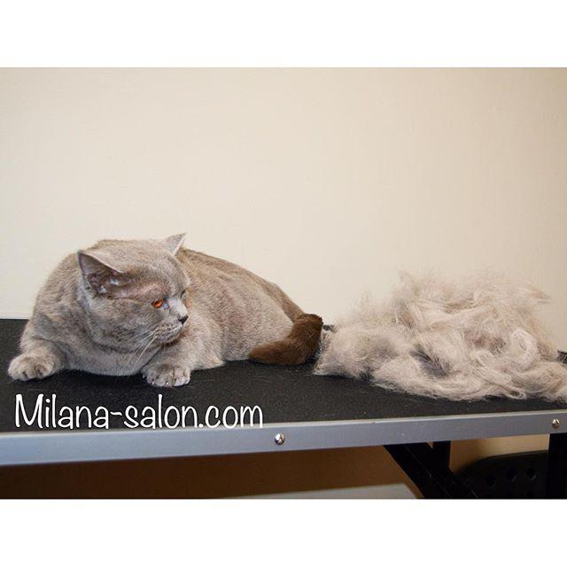 1117152744170001142 1186816731 Стрижка кошки и стрижка кота в салоне