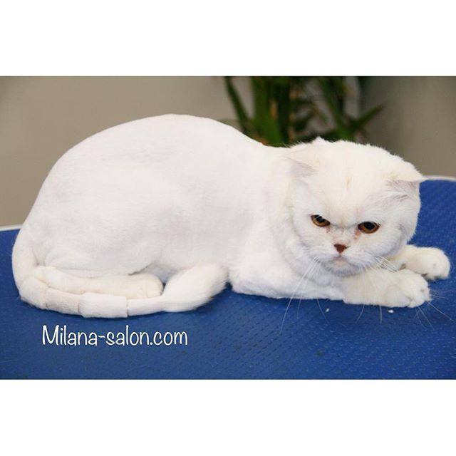 strizhka koshek Стрижка кошки и стрижка кота в салоне